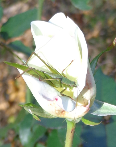 Katydid on white rose